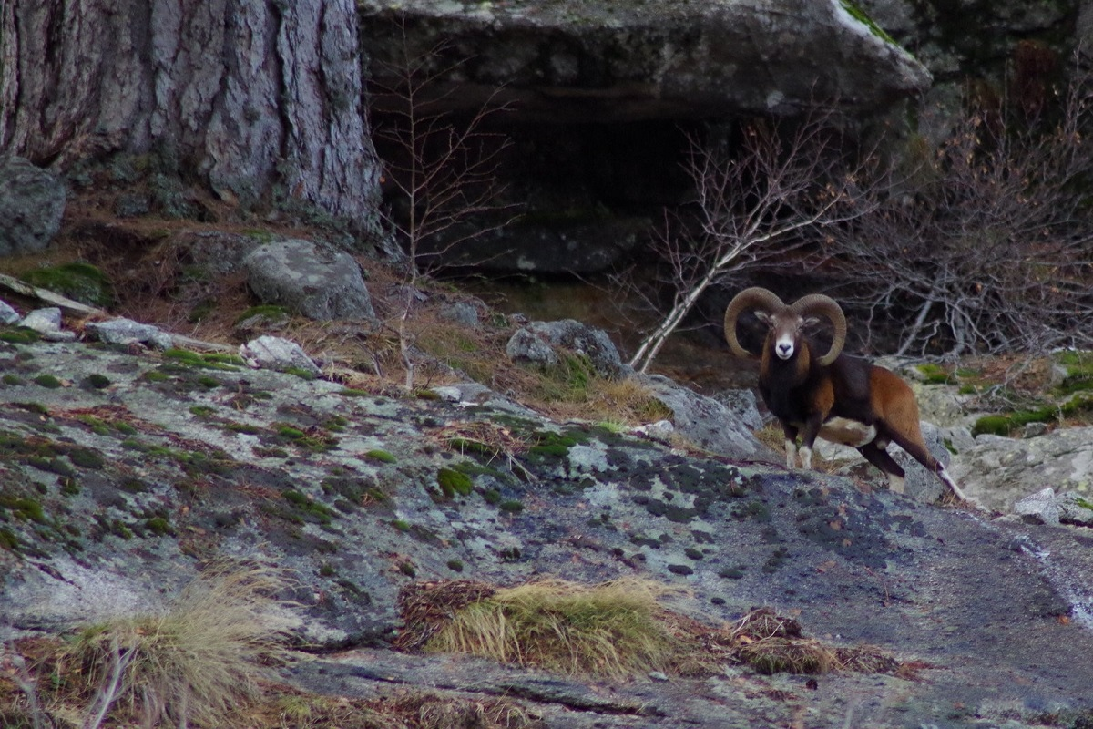 Mouflon corse 1200