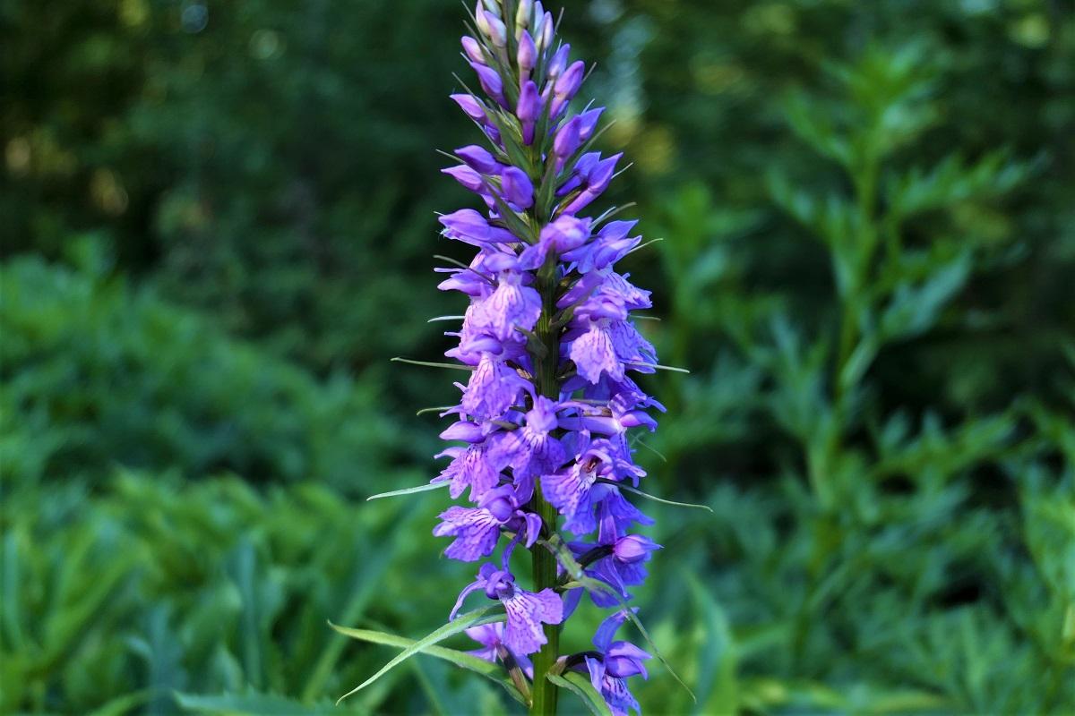 Orchidée  GR20