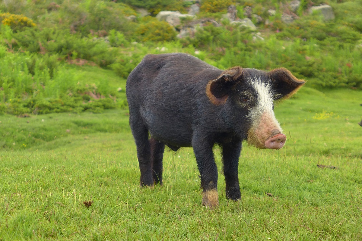 Cochon Corse 1200