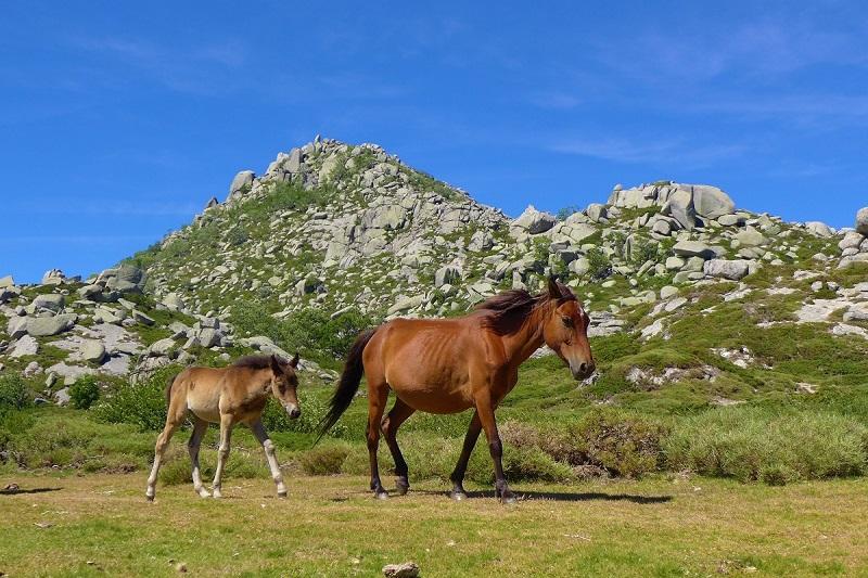 Chevaux-sauvage-cuscione-corse